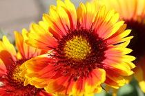 Blume rot-gelb von Ralf Wolter