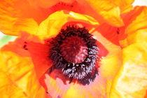 Türkische Mohnblume von Ralf Wolter