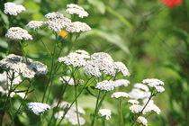 Weiße Blumen  by Ralf Wolter