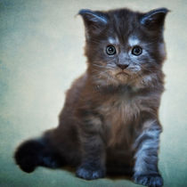 Maine Coon Kitten / 31 by Heidi Bollich
