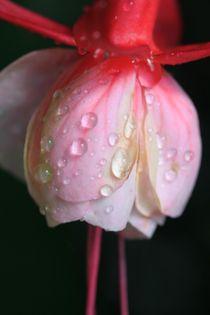 Rosa Blüte mit Wassertropfen by Ralf Wolter