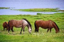 Pferde im Kattinger Watt von AD DESIGN Photo + PhotoArt
