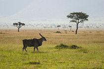 Eland in Masai Mara
