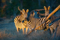 Zebras in evening light by Wolfgang Kaehler