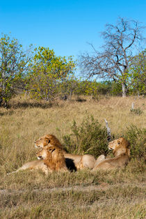 Lion brothers in the Okavango von Wolfgang Kaehler