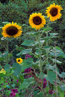 Helianthus Family 208 by Patrick O'Leary