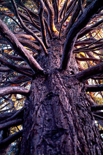 Medusa Sequoia 600 by Patrick O'Leary