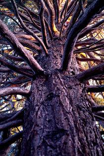 Medusa Sequoia 600