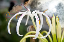 The flower von Christine Sponchia