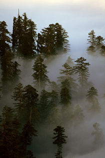 Redwoods in Fog von Jim Corwin
