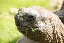 Riesenschildkröte by Ralf Wolter