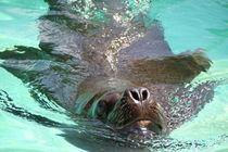 Seehund im Wasser by Ralf Wolter