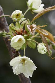 Prunus 'Ukon' by Geoff Bryant