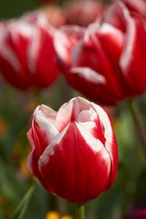 Tulipa 'Leen van der Mark' by Geoff Bryant