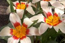 Tulipa kaufmanniana by Geoff Bryant