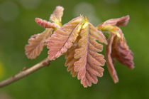 Quercus frainetto by Geoff Bryant