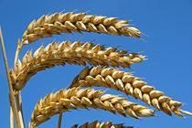 Wheat by Geoff Bryant