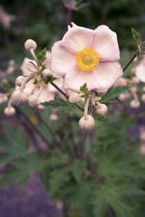Blüten und Knospen by sylbe