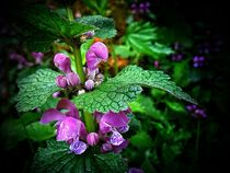 Purple Deadnettle by Andreas Theis