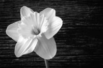 Daffodil Narcissus Flower Black and White by Edward  Fielding