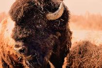 Amerikanischer Bisonbulle by gibleho