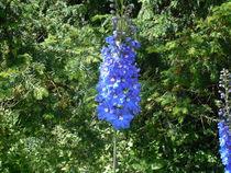 Mauve Hyacinth  by Amanda Elizabeth  Sullivan