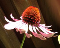Echinacea by Ruth Baker