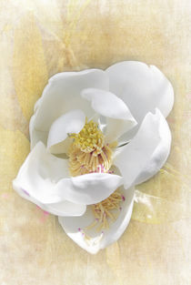Sweet Southern Magnolia by Judy Hall-Folde