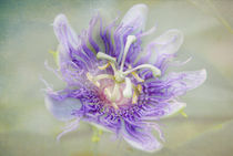 Passion Flower by Judy Hall-Folde
