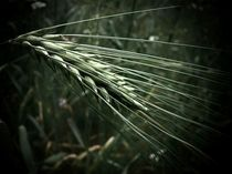 Barley Ear by Andreas Theis