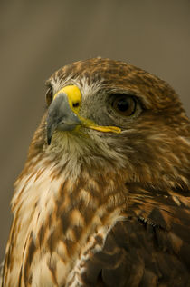 Red Tailed Hawk by Jacqi Elmslie