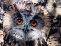 European Eagle Owl by Roger Butler