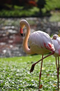 Flamingo in summerlight /Flamingo im Sommerlicht by Kathy Lemburg