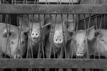 Five Pigs by Naor Gamliel