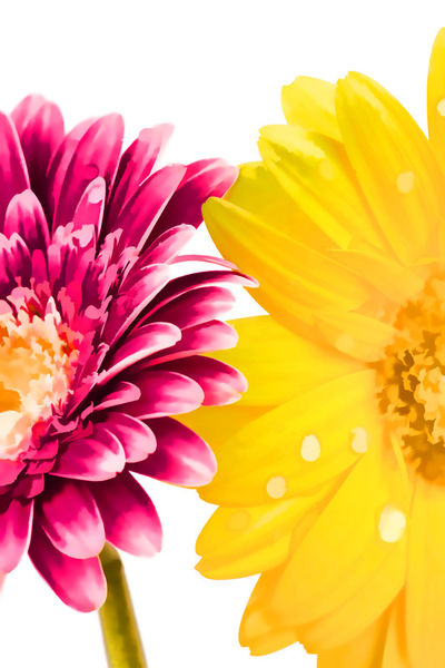 Gerbera-digitalart