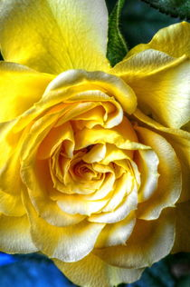 Yellow Rose von Stephen Walton