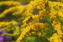 hoverfly feeding von mark severn