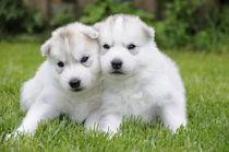 Husky Puppies by Michael Ebardt