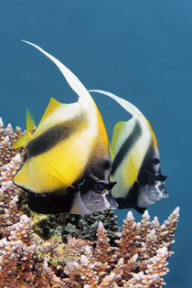 Red Sea Bannerfish II von Norbert Probst