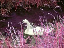 The pink swan by Amanda Elizabeth  Sullivan