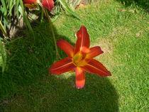 Singular coral flower by Amanda Elizabeth  Sullivan