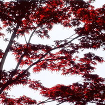 Red leaves of a Japanese maple tree - light by Intensivelight Panorama-Edition