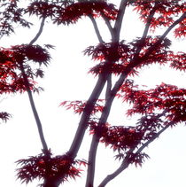 Japanese maple tree  by Intensivelight Panorama-Edition