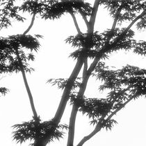 Japanese maple tree - monochrome by Intensivelight Panorama-Edition