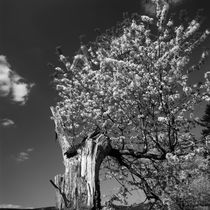 Old tree flowering in spring - monochrome von Intensivelight Panorama-Edition
