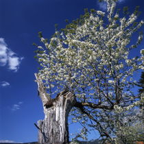 Old tree flowering in spring von Intensivelight Panorama-Edition
