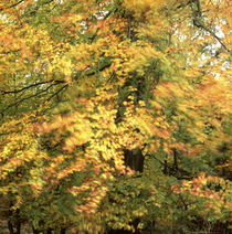 Autumn beech shaking in the wind von Intensivelight Panorama-Edition