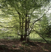Hunter's hide in a beech tree by Intensivelight Panorama-Edition