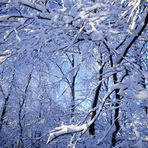 Snow-laden branches by Intensivelight Panorama-Edition