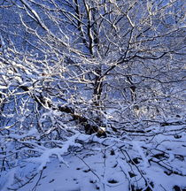 Snow covered beech by Intensivelight Panorama-Edition